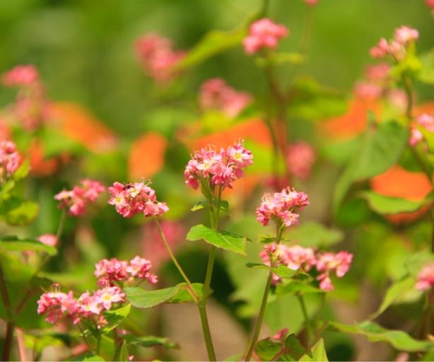 蕎麦の花の画像